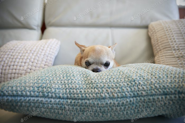 Chihuahua Dog Sitting On Cushion Indoors