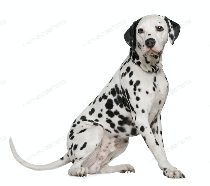 Dalmatian, 4 years old, sitting in front of white background