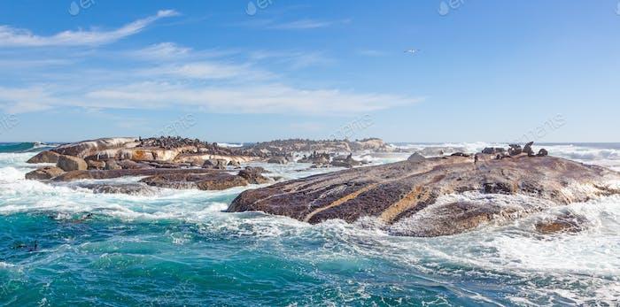 Cape Fur Seals Near Cape Town