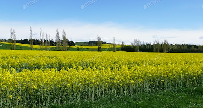 field of rapeseed in south island
