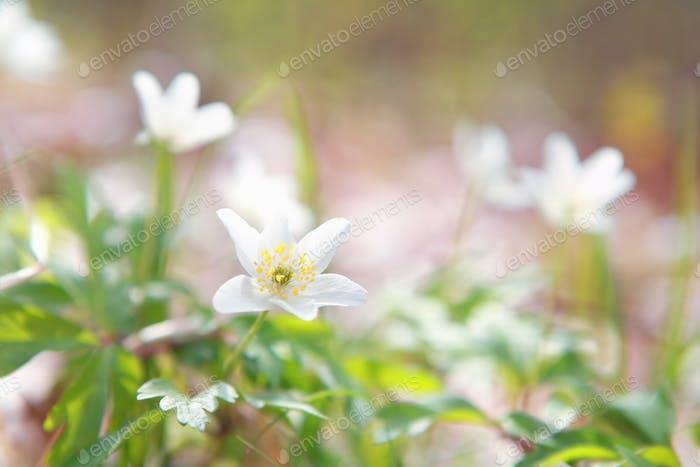 weiße Anemone Blume im Wald