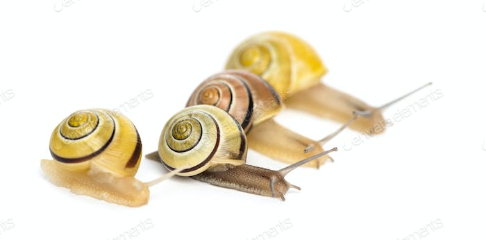 Grove snails or brown-lipped snails, Cepaea nemoralis, racing in front of white background