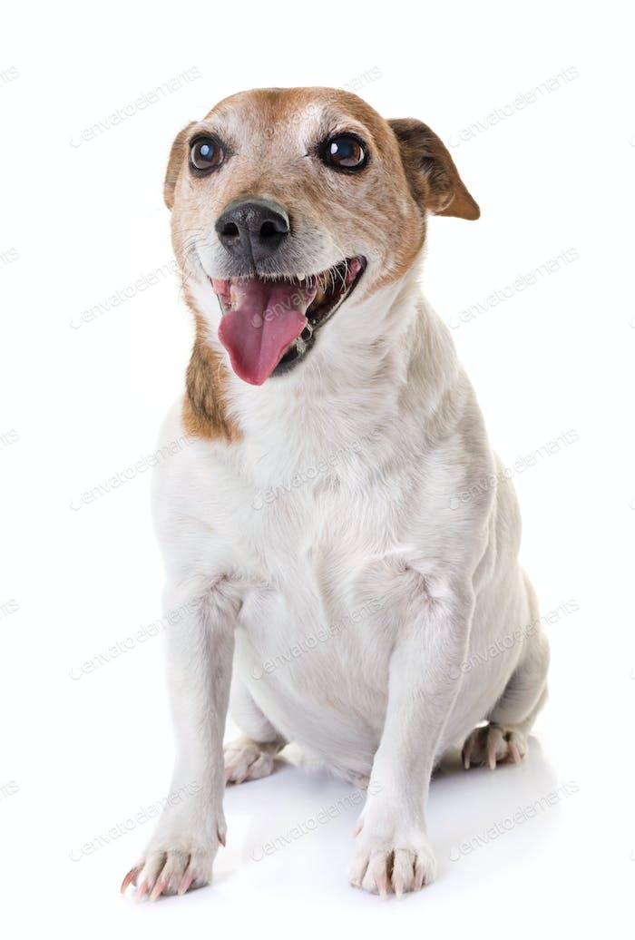 old jack russel terrier