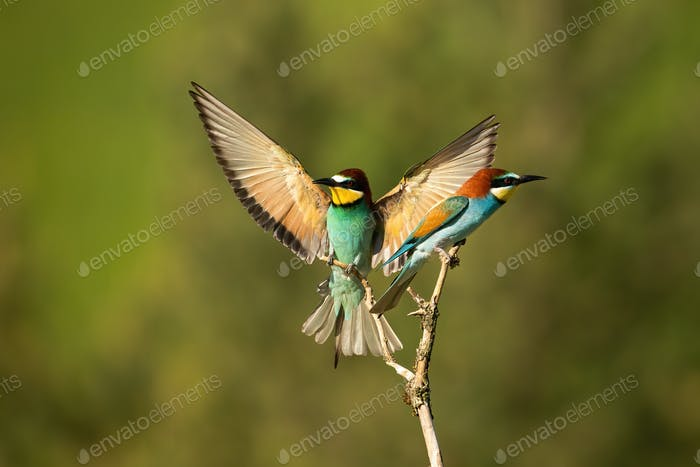Vital european bee-eater landing with wings open wide in summer nature
