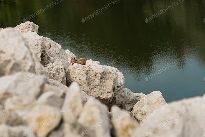 Baby fox on rocks near water