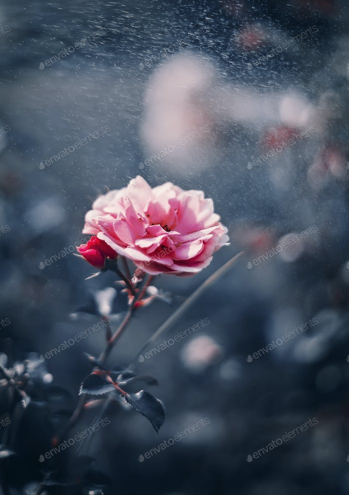 Pink Rose on Dark Blue tone background with bokeh