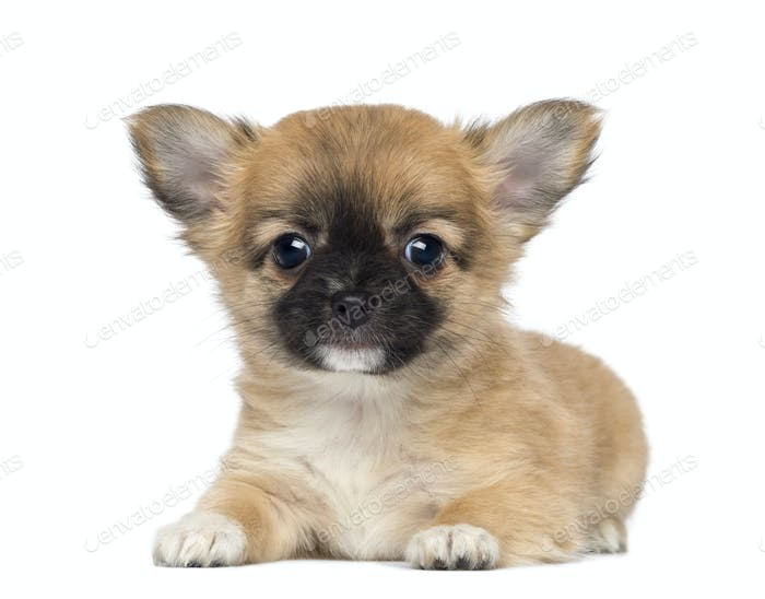 Chihuahua Puppy, 2 months old, lying and facing, isolated on white