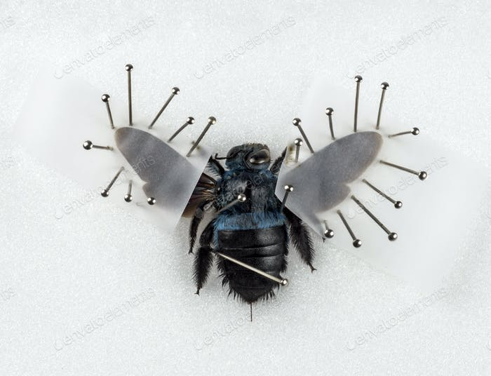 Beetle Xylocopa violacea nailed, isolated on white