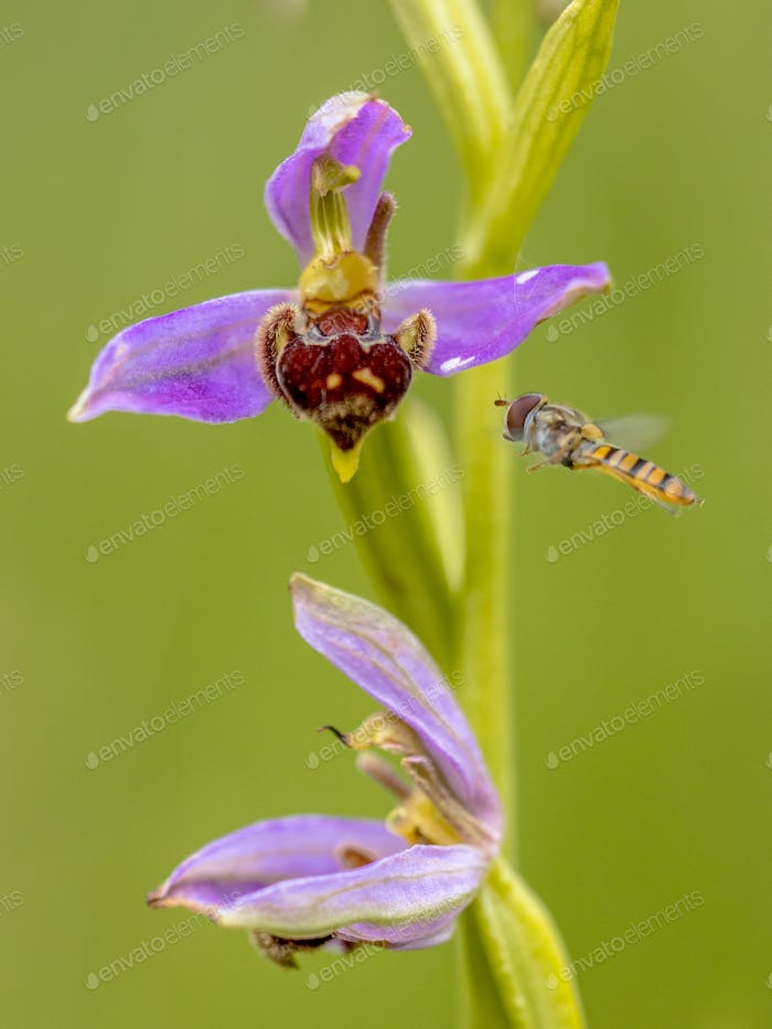 Yellow Hoverfly near Pink flowers of Bee orchid