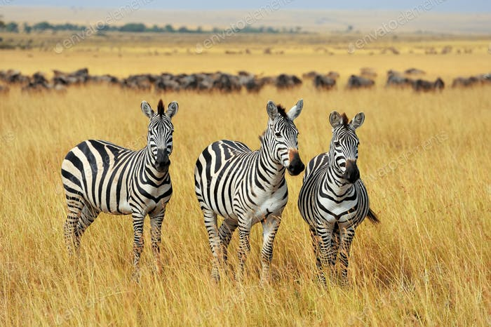 Zebra on grassland in Africa