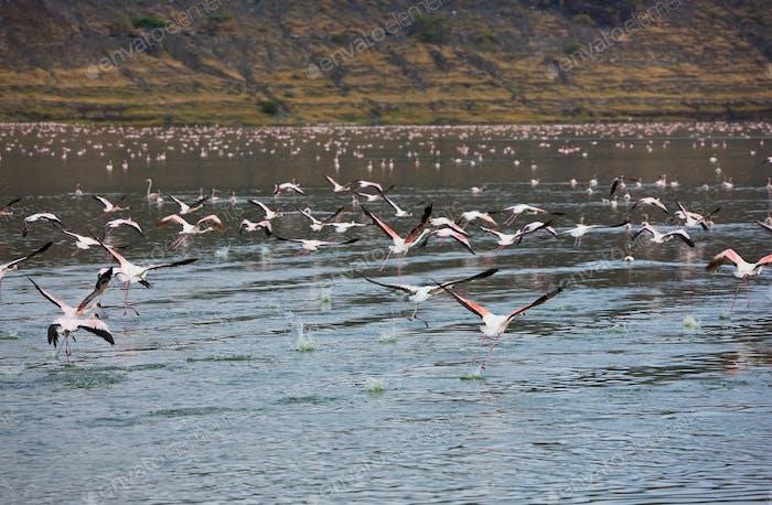 Flamingos in lake Chitu, Abiata-Shala National Park, Ethiopia