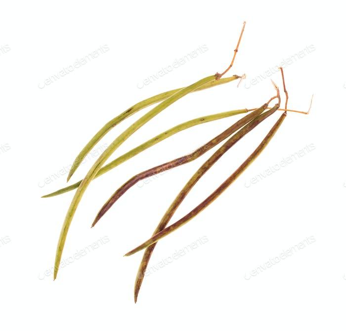 Seedpod of catalpa.