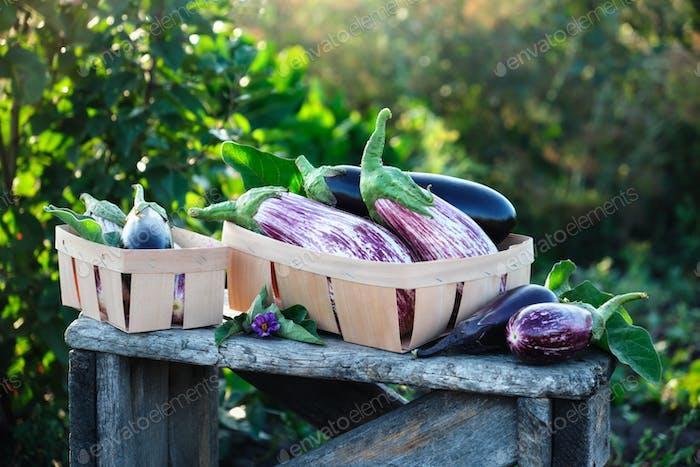 Fresh eggplants of different varieties