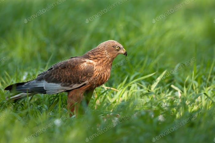 Marsh harrier ( Circus aeruginosus) male,sitting on the meadow and looking to the right