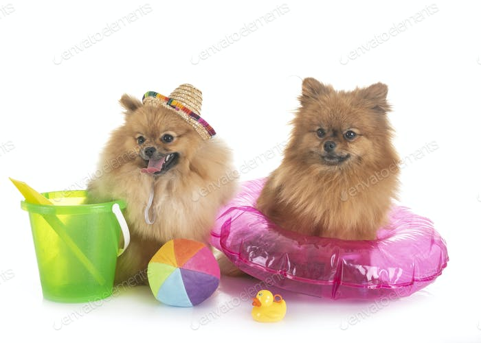 pomeranians in holidays