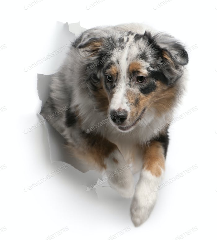 Australian Shepherd dog jumping out of white background, 7 months old