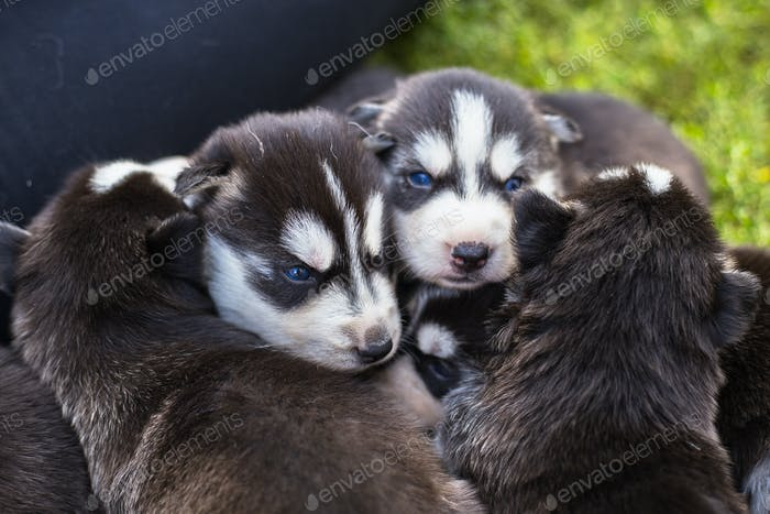 Many little Puppy husky
