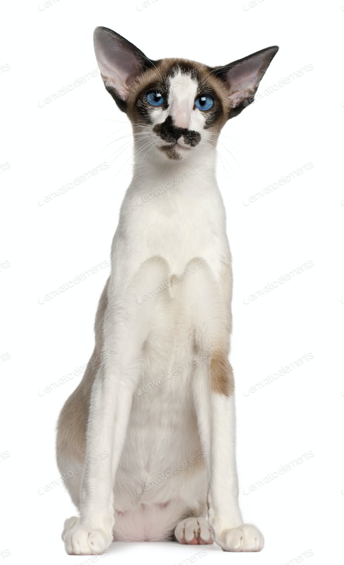 Siamese cat, 7 months old, sitting in front of white background