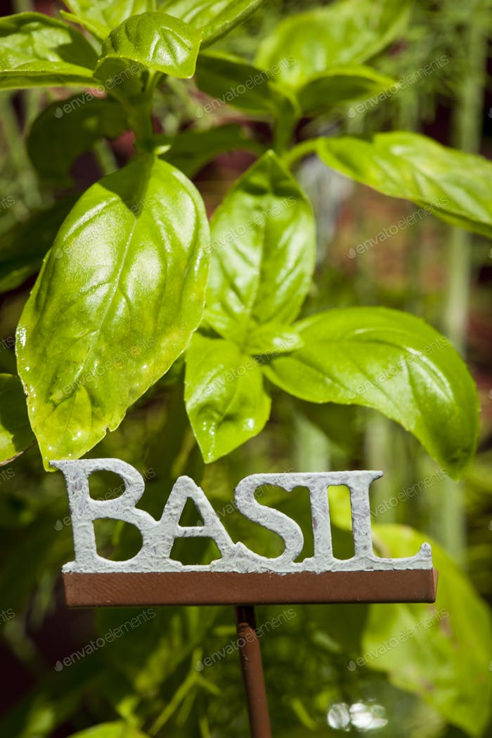 Fresh Green Herbal Basil Leaves