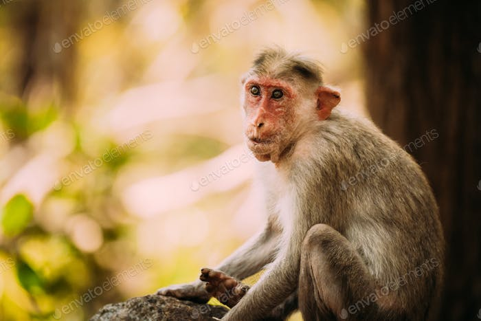 Goa, India. Old Bonnet Macaque Monkey - Macaca Radiata Or Zati. Close Up Portrait