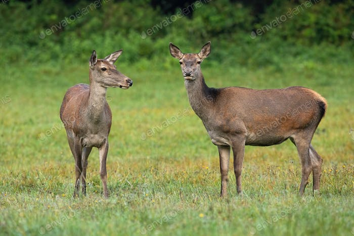 Two red deer hinds standing on meadow in summertime nature