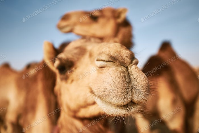 Close-up view of camel in desert