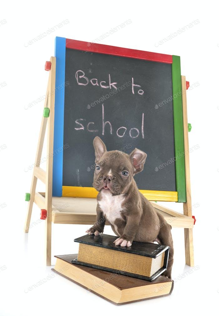 puppy american bully at school