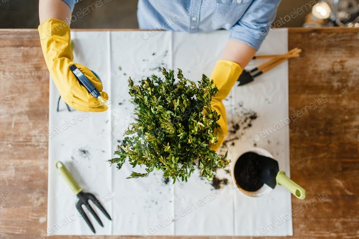 Young woman in gloves sprays home plants, top view