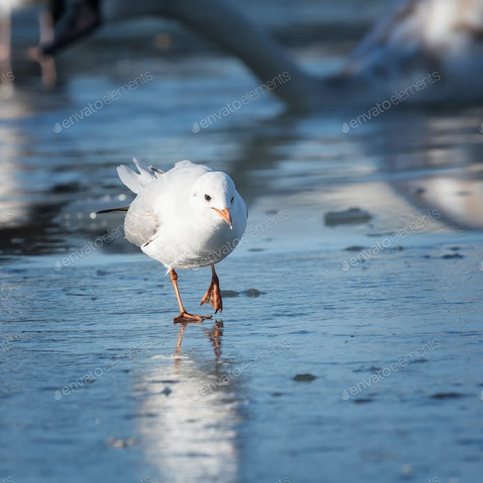 Seagull cautiously goes on the ice