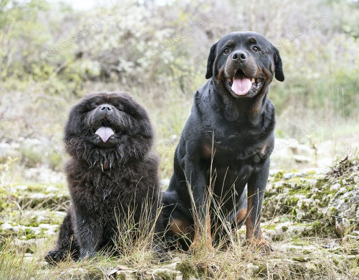 rottweiler and chow chow