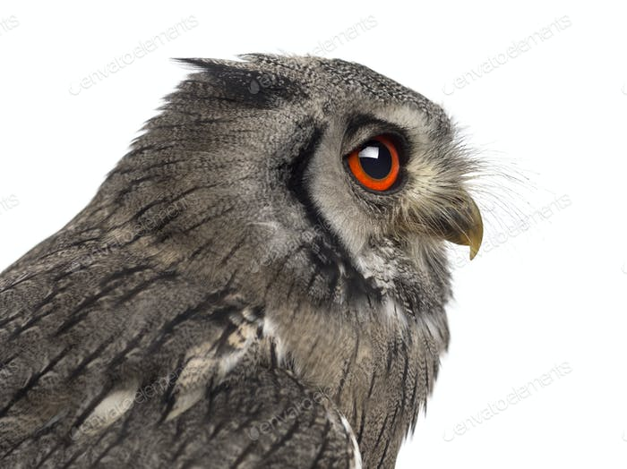 Close-up of a Northern white-faced owl - Ptilopsis leucotis