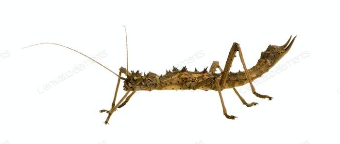stick insect, Phasmatodea - Aretaon Asperrimus