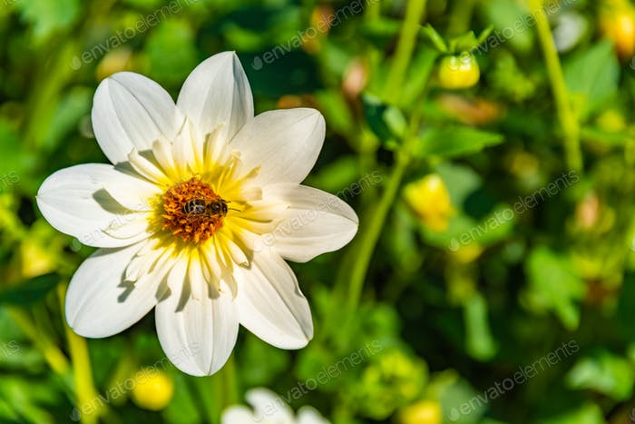 Honey bee covered with yellow pollen collecting nectar from white flower against green background