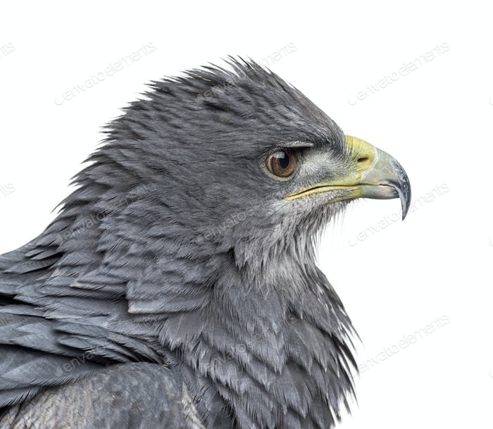 Close-up of a Chilean blue eagle - Geranoaetus melanoleucus