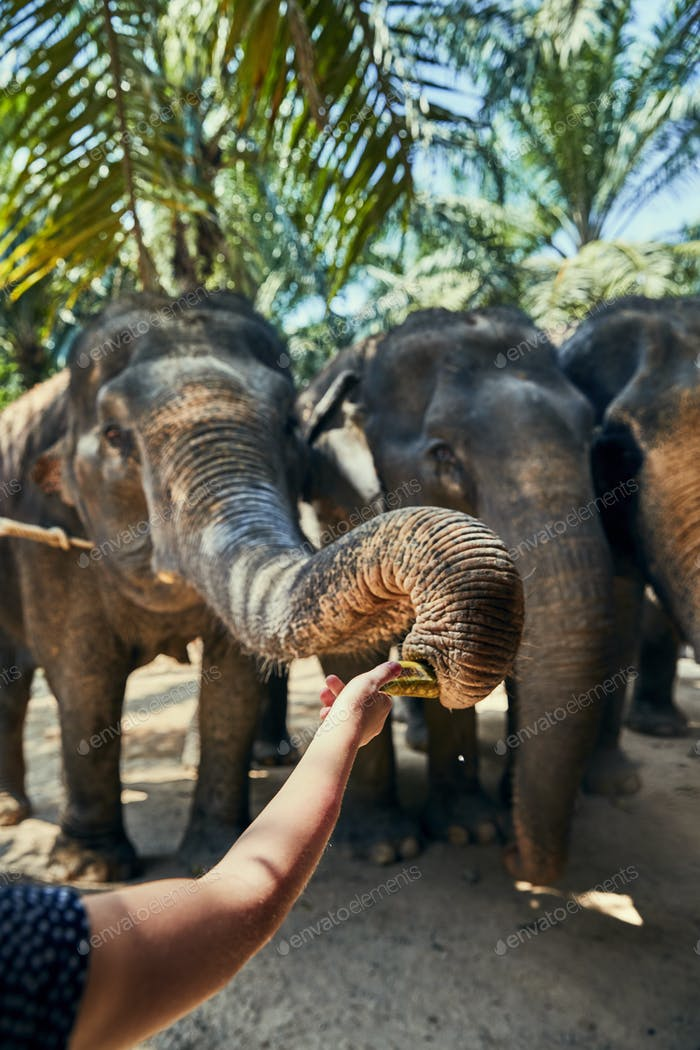Woman feeding an Asian elephant bananas at an animal sanctuary