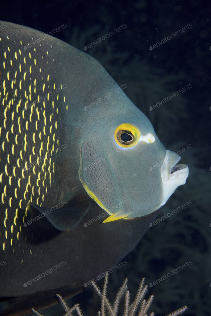 French angelfish turns a wary eye towards the camera.
