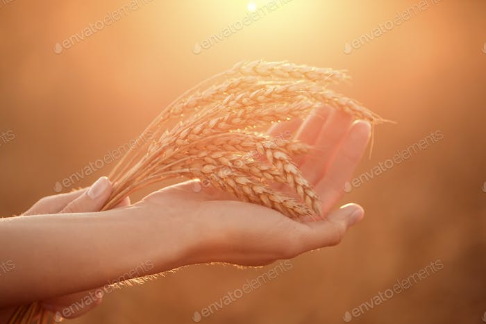 Woman's Hands Hold Wheat Ears At Sunset. Shallow Depth Of Field.