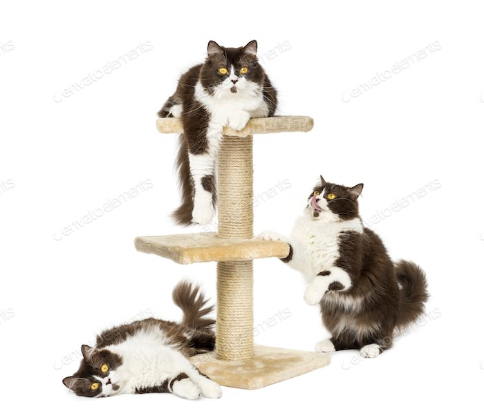 British longhair cats on a cat tree, isolated on white