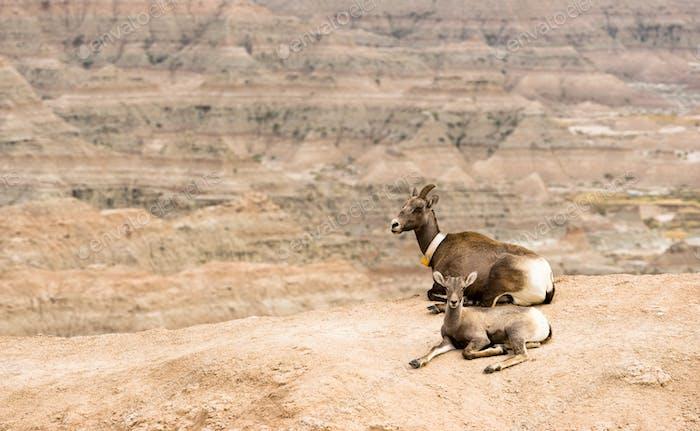 Bighorn Schaf Mutter und Kalb GPS Tracking Halsband Badlands