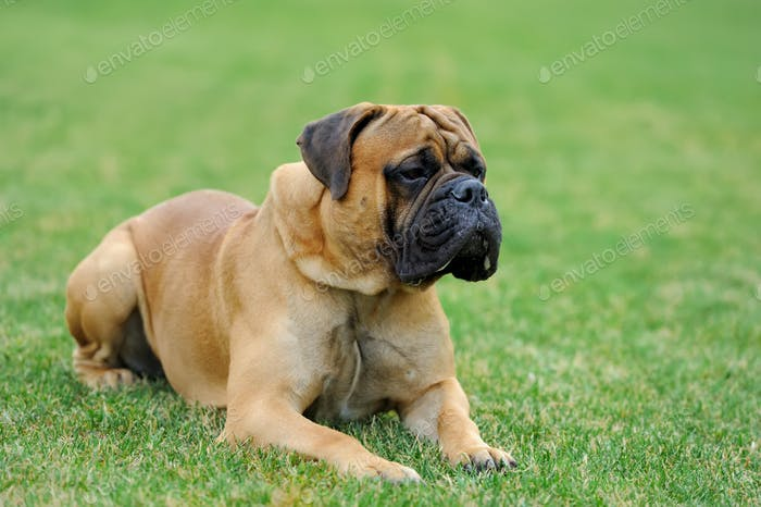 German Mastiff dog