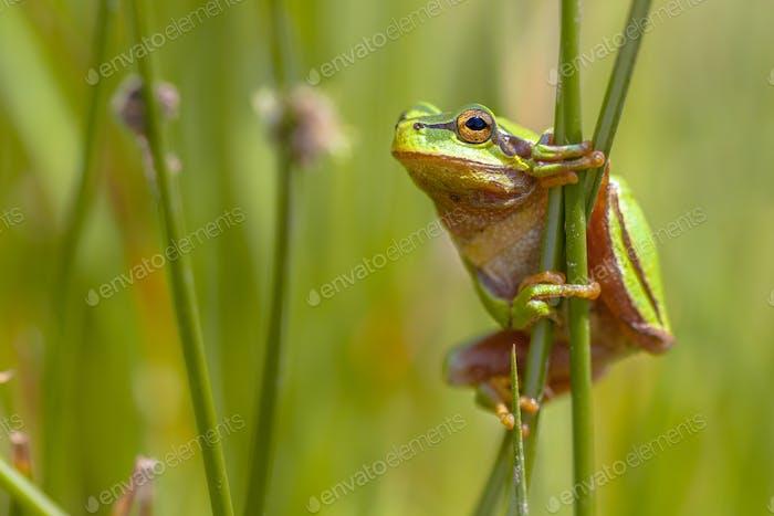 Climbing Green European tree frog de profile