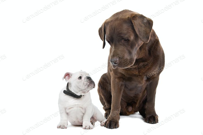 French bulldog puppy and Chocolate labrador