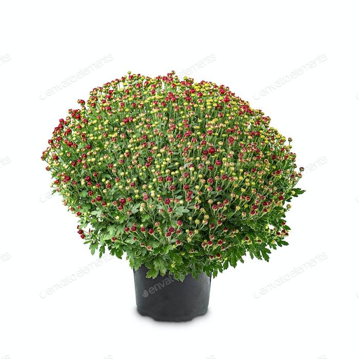 Chrysanthemen rund