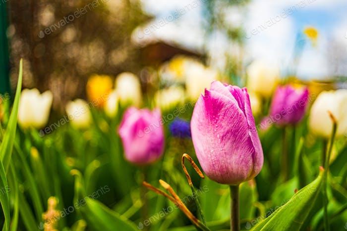 Purple tuplip blossom in spring in garden