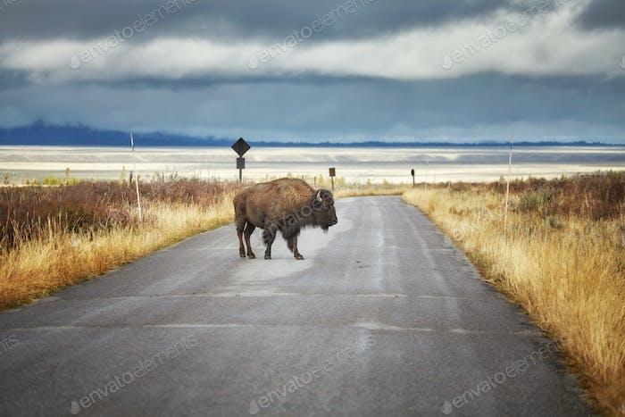 Bisonte en Carretera en el Parque Nacional Grand Teton, Wyoming, Estados Unidos.