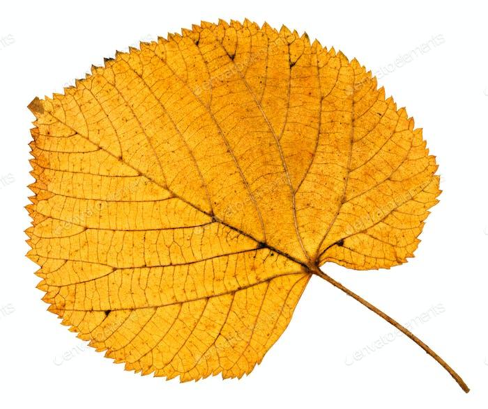 back side of dried autumn leaf of linden tree