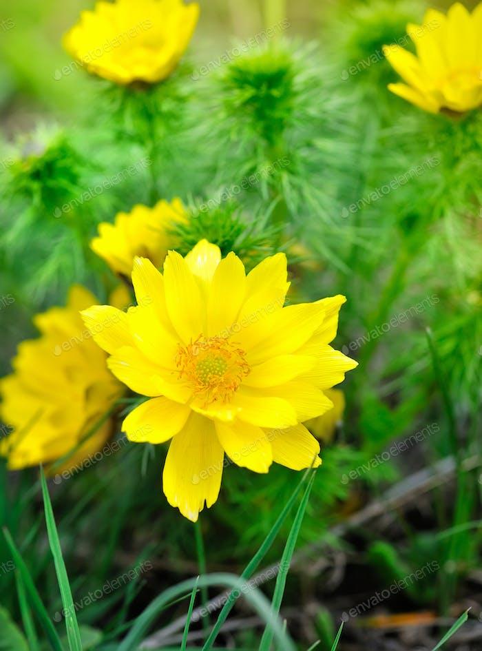 Yellow flowers of adonis (Adonis vernalis)