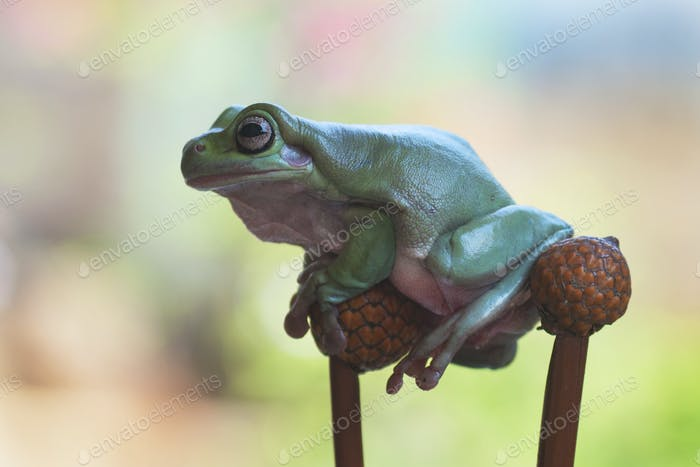 Tree Frogs Sitting on a Branch