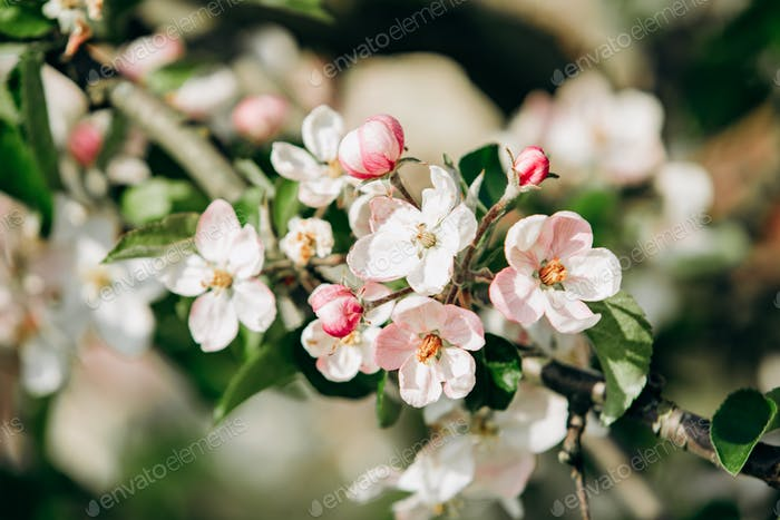 Apple blossoms in spring. Beautiful Apple blossoms.