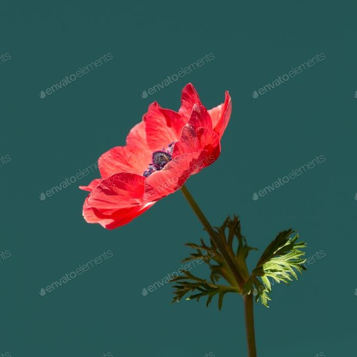Rote Anemonenblume im Sonnenlicht auf türkisfarbenem Hintergrund.
